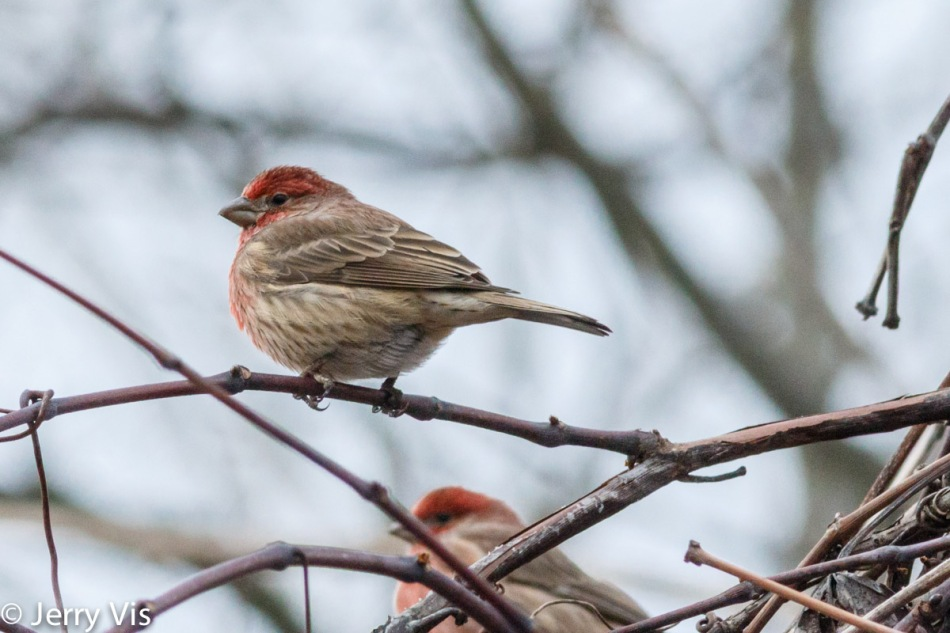 Male house finches