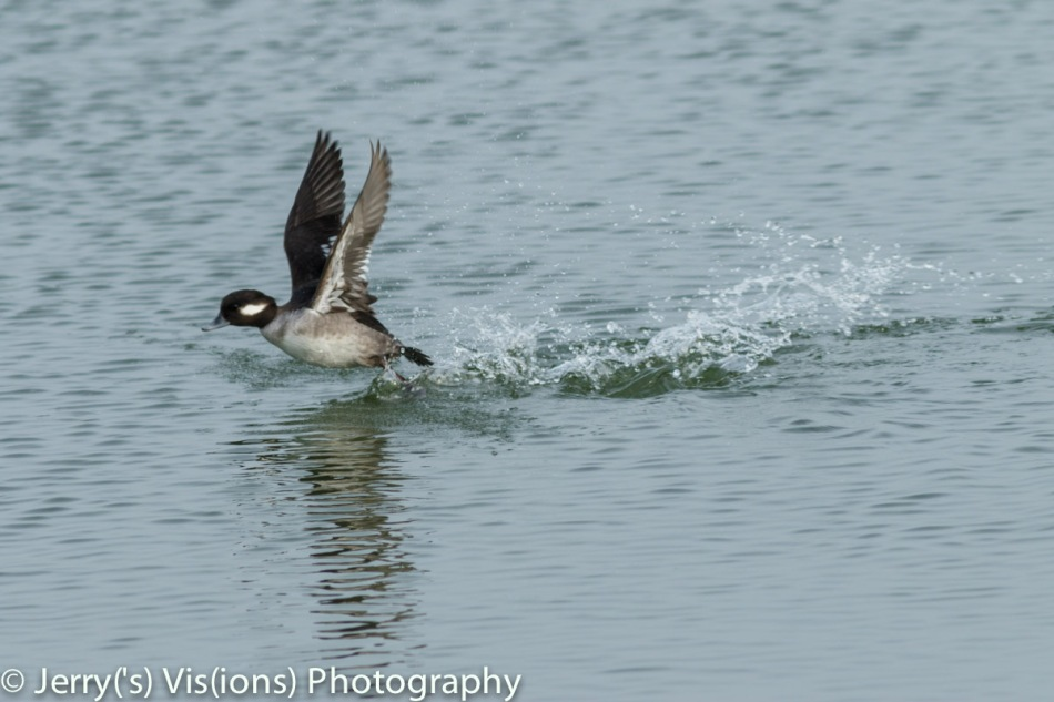 Female bufflehead taking flight