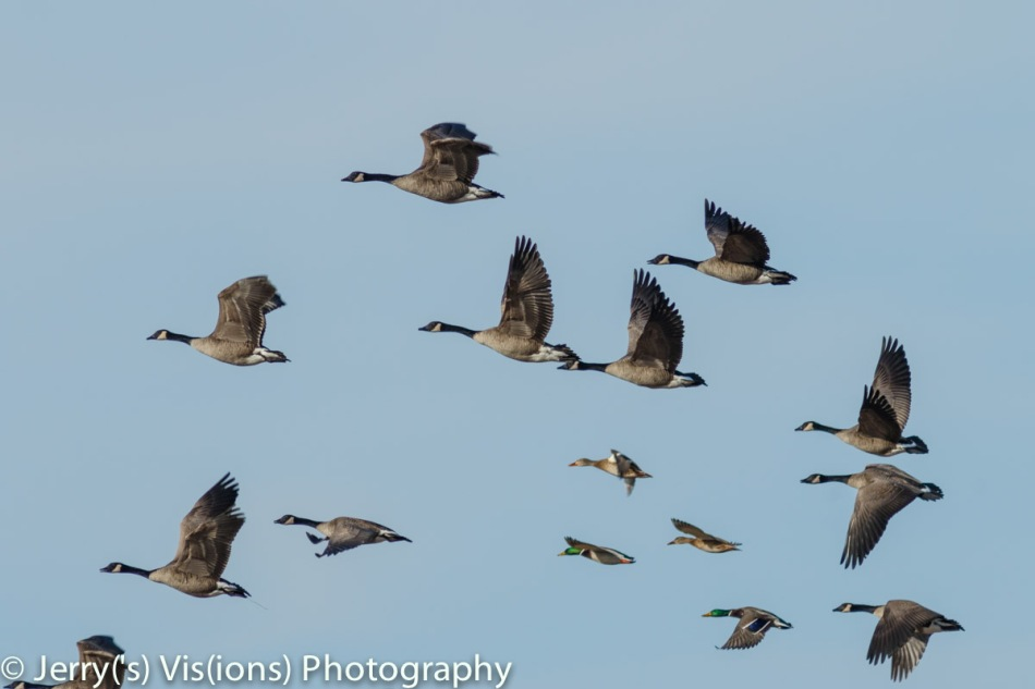 Canada geese and mallards in flight