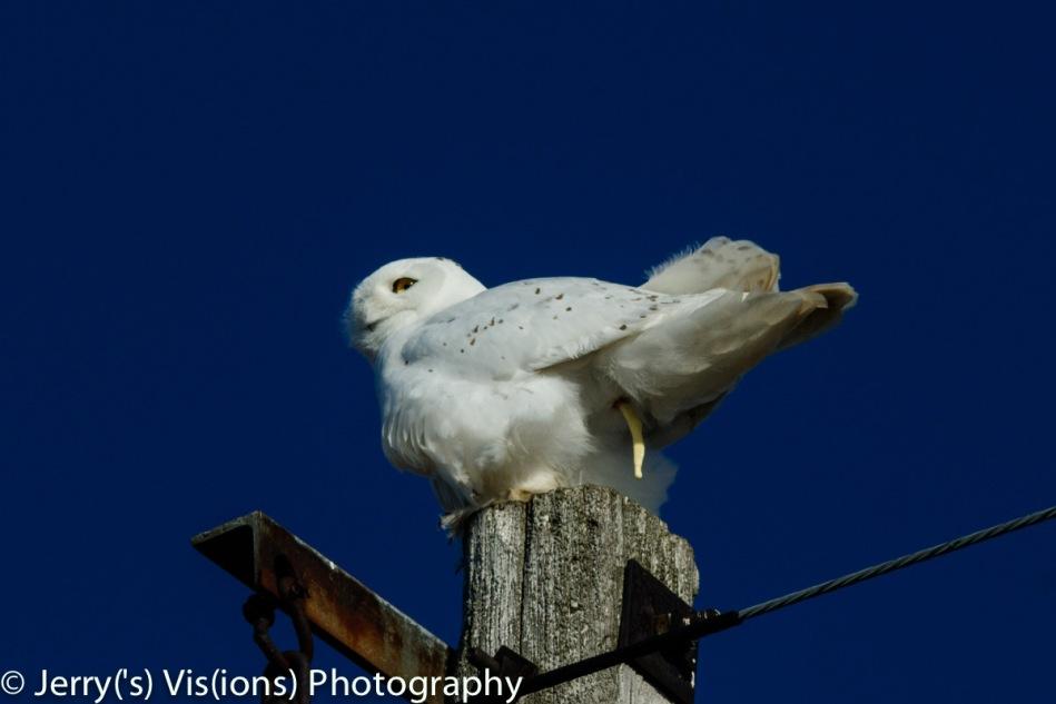 Snowy owl pooping