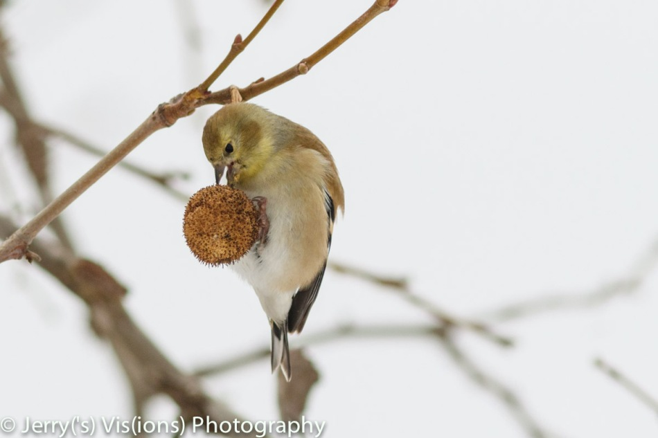 American goldfinch eating sycamore tree seeds