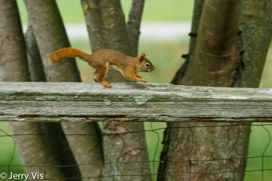 Red squirrel on the run