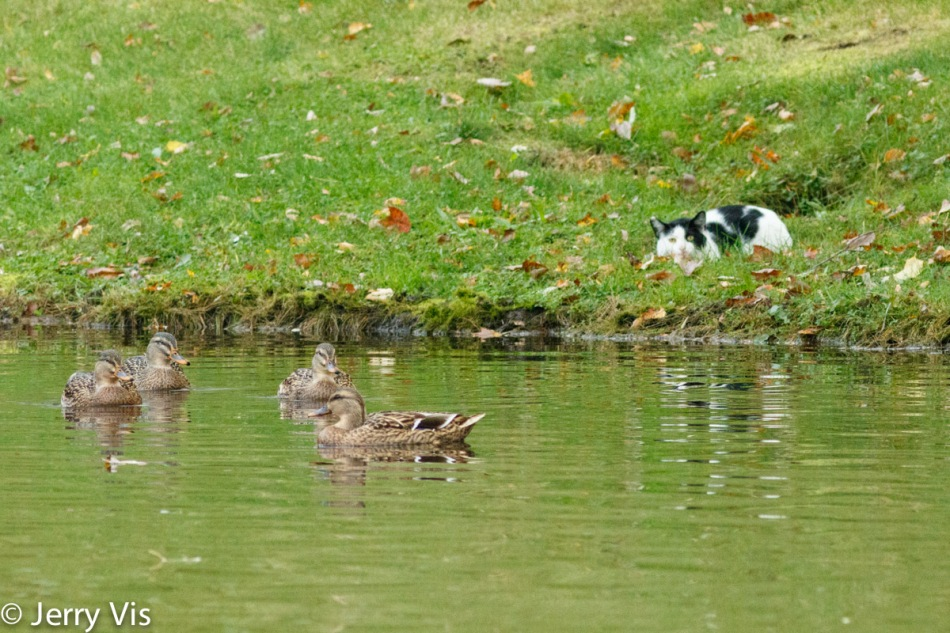 Female mallards taunting a house cat