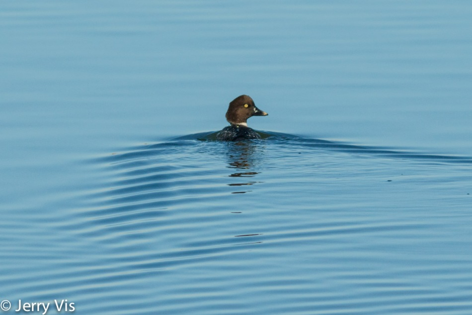 Juvenile common goldeneye duck