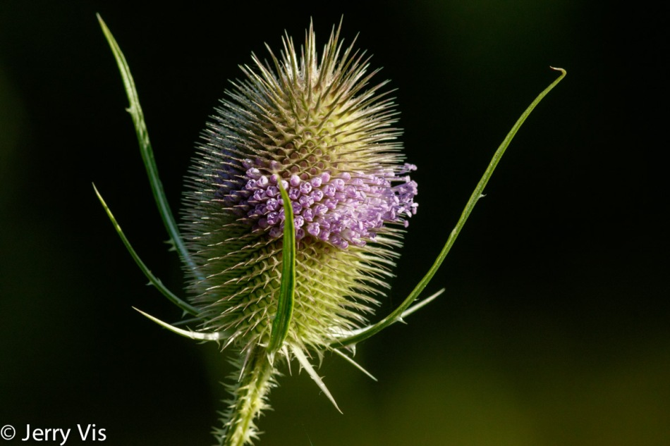 Teasel in bloom