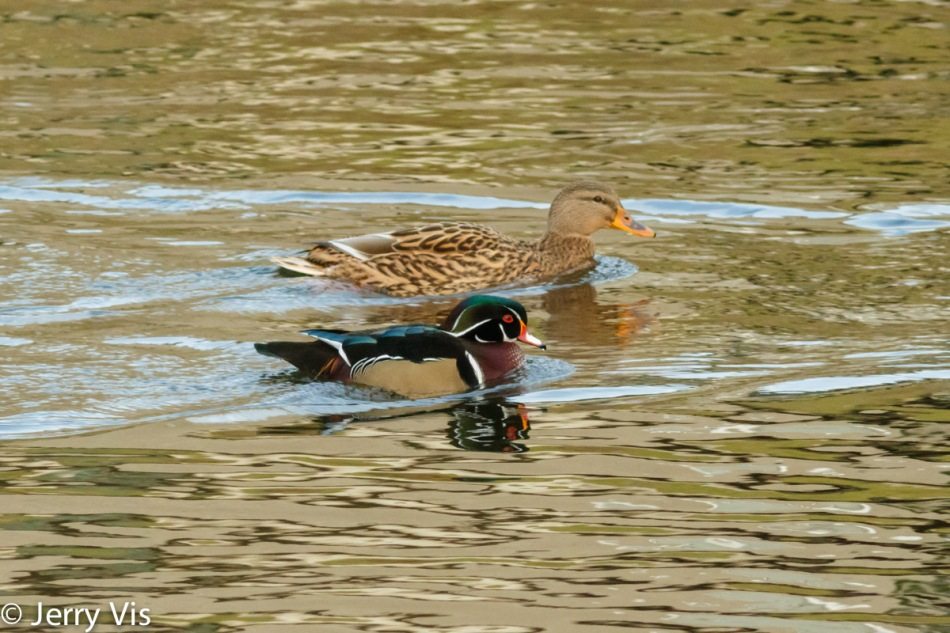 Male wood duck and female mallard