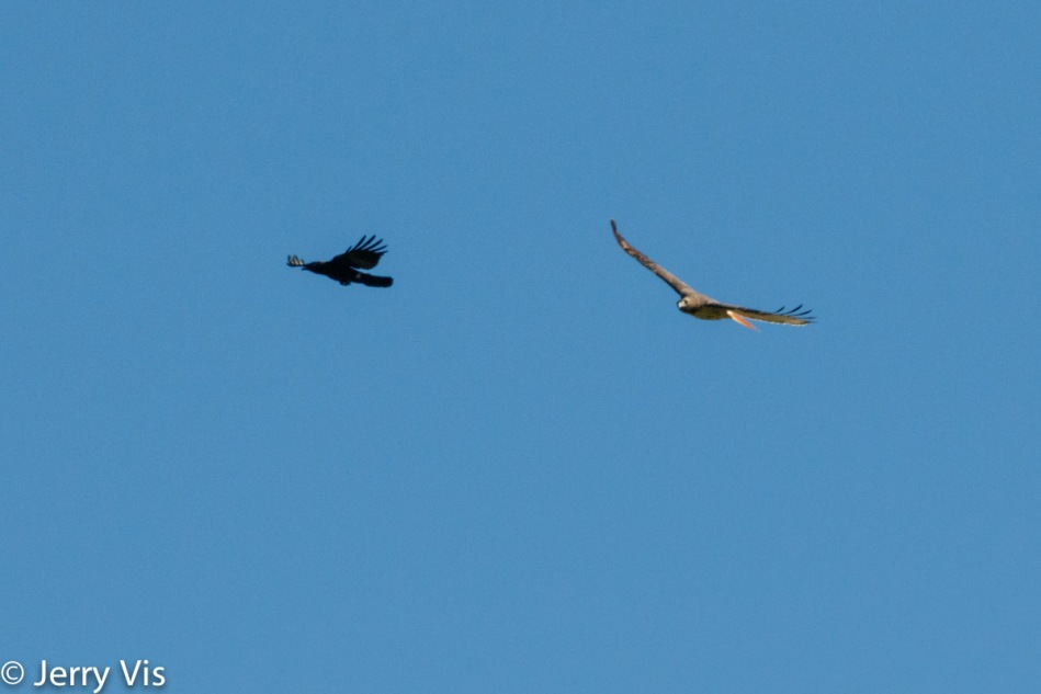 Crow harassing a red-tailed hawk