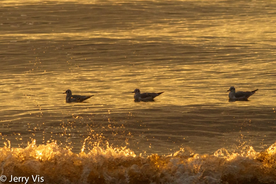 Bonaparte's gulls in the sunset