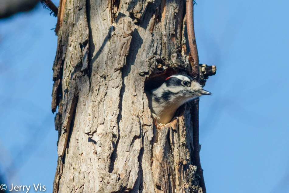 Male downy woodpecker excavating a hole in a tree