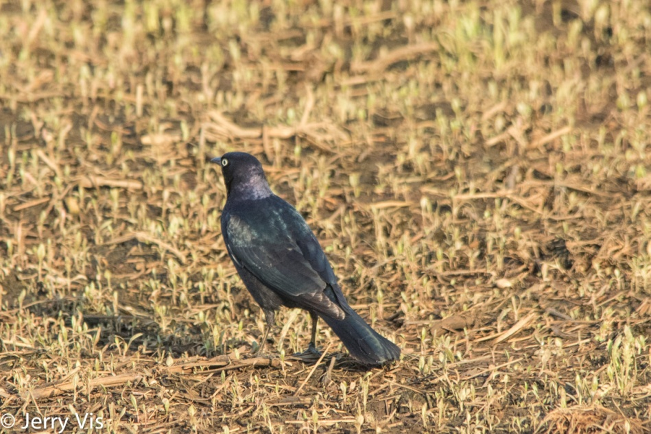 Brewer's Blackbird, Euphagus cyanocephalus