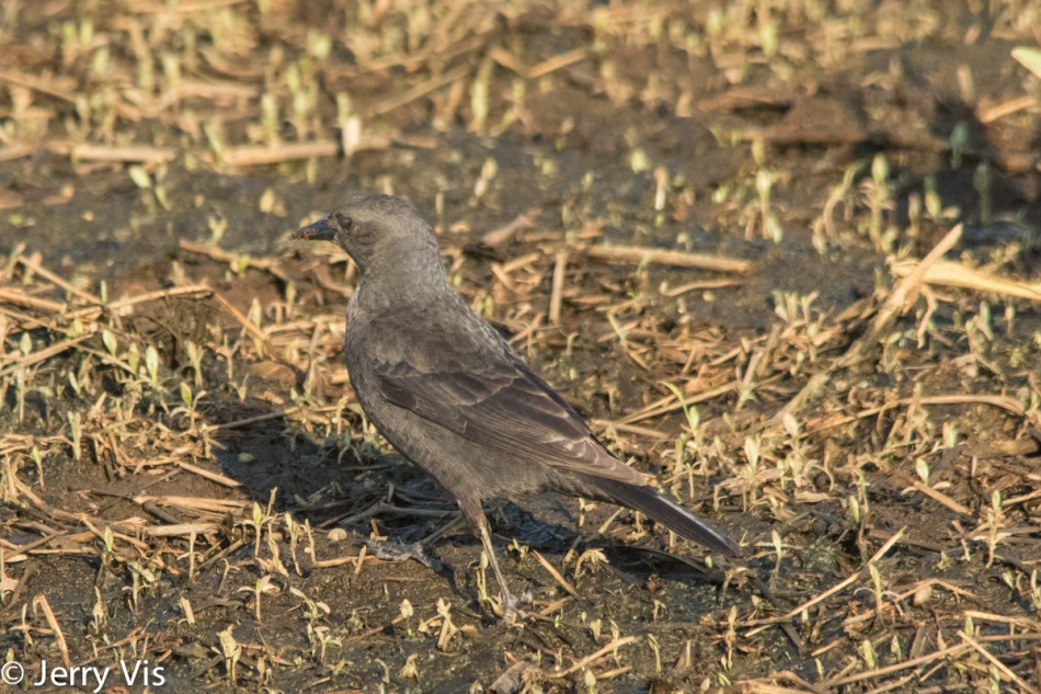 Brewer's Blackbird, Euphagus cyanocephalus, female