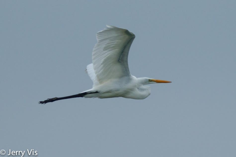 Great egret in flight