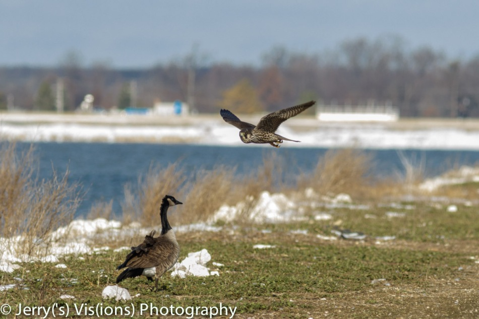 Peregrine falcon and Canada goose