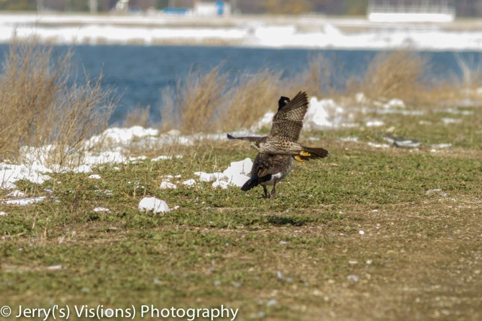 Peregrine falcon and Canada goose