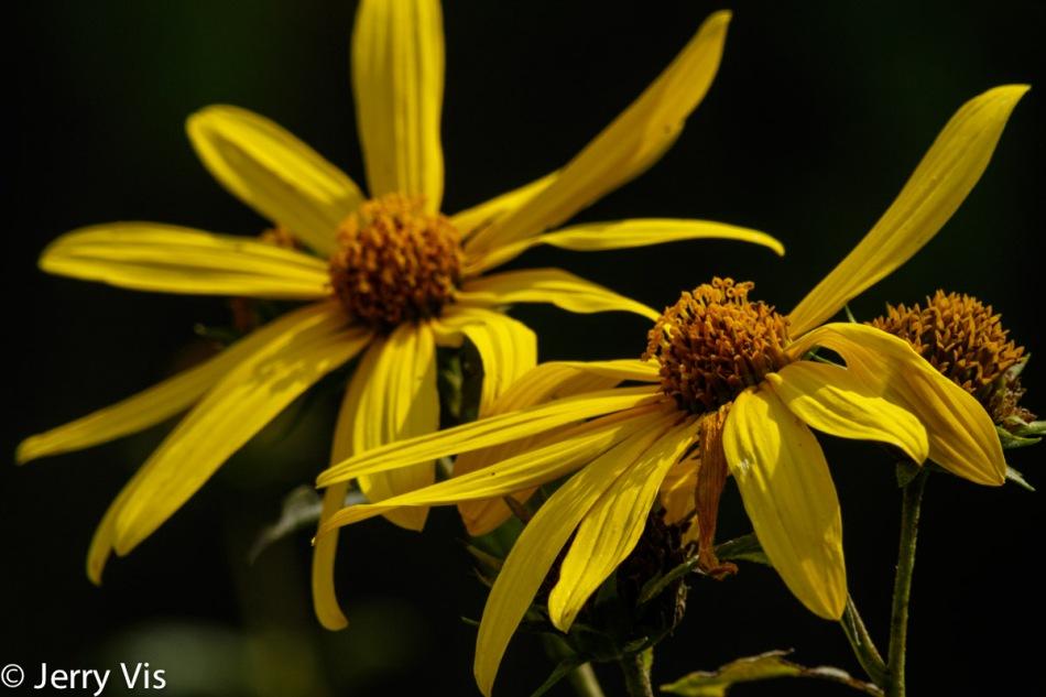 Woodland sunflowers?