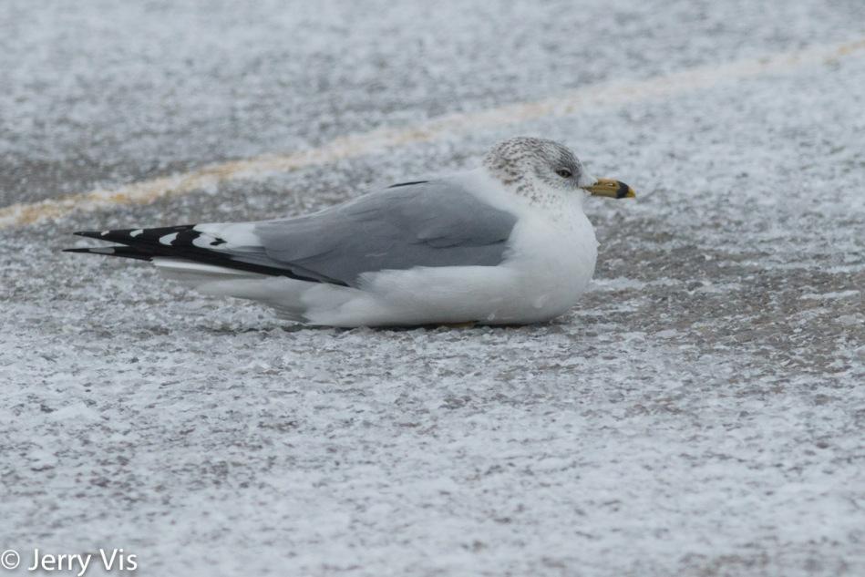 Ring-billed gull resting