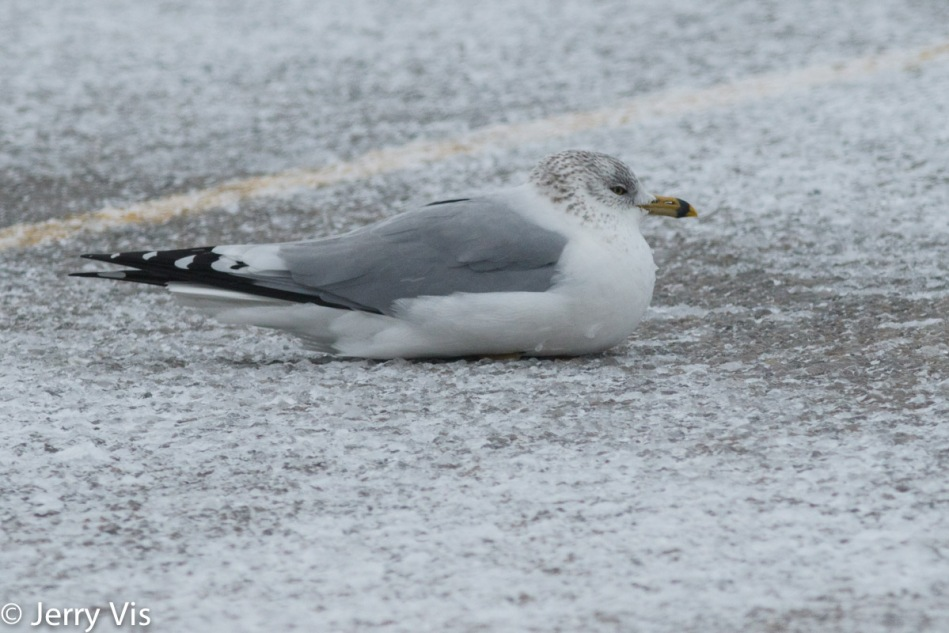 Ring-billed gull resting