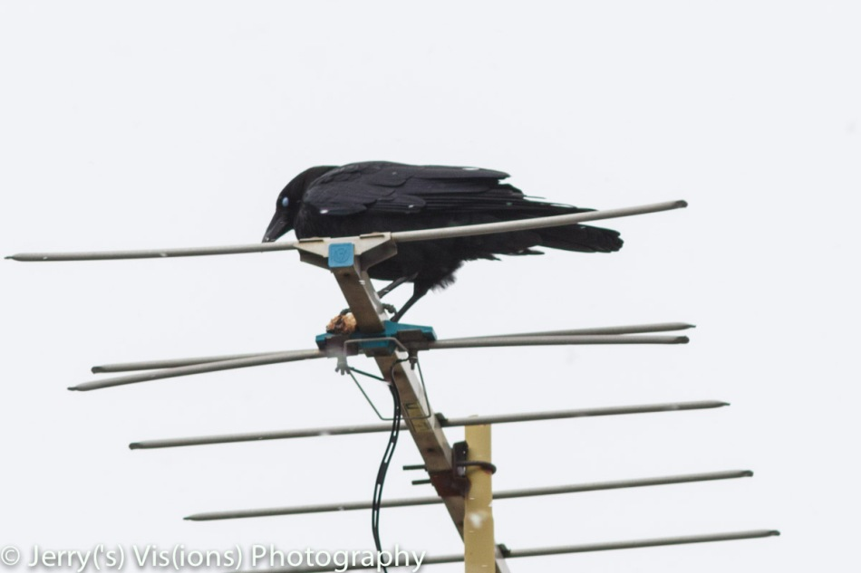 American crow blinking