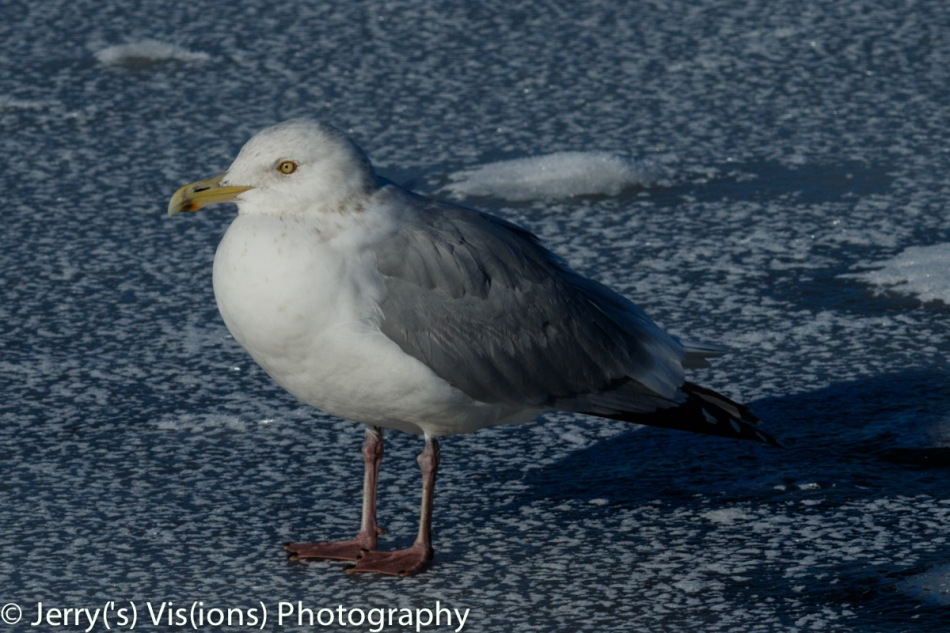 Herring gull on ice