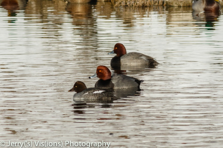 Juvenile common goldeneye in front of two male redhead ducks