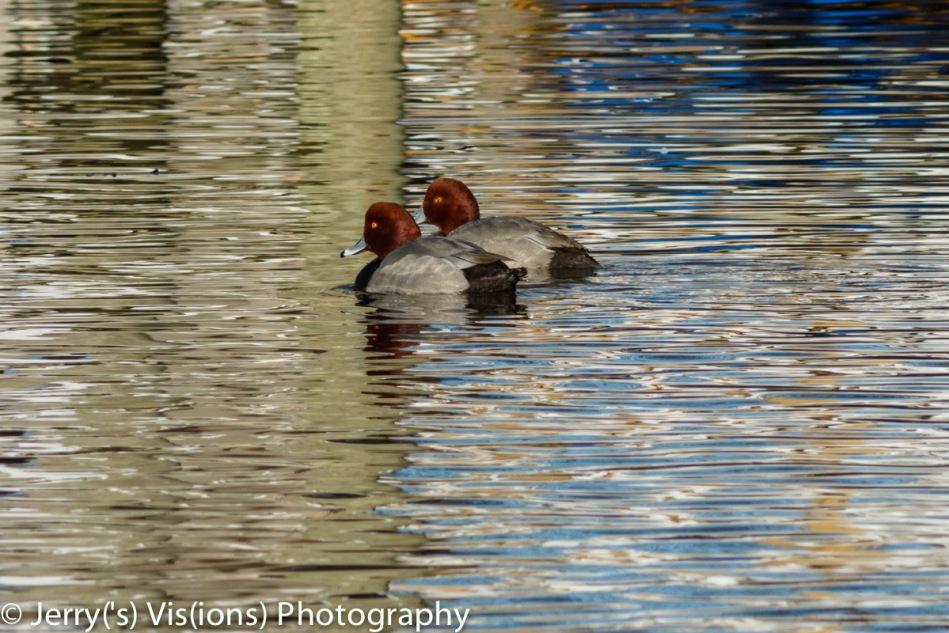 Male redhead ducks