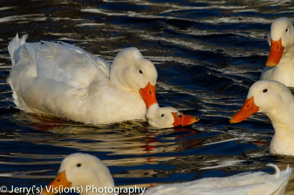 Pekin duck porn