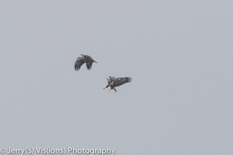 Juvenile bald eagles in action