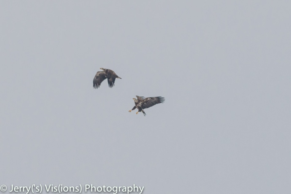 Juvenile bald eagles in action