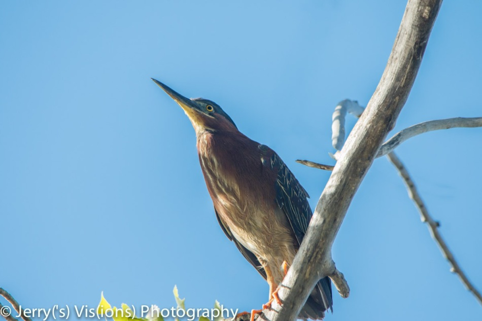 Green heron after Photoshop