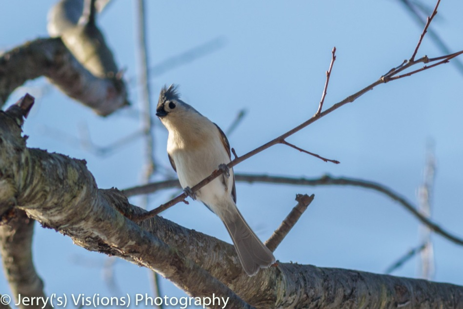 Male tufted titmouse
