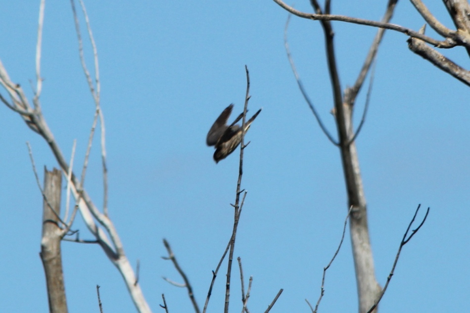 Merlin, Falco columbarium in flight