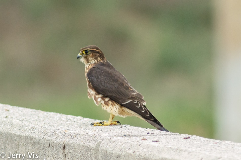 Merlin, Falco columbarius