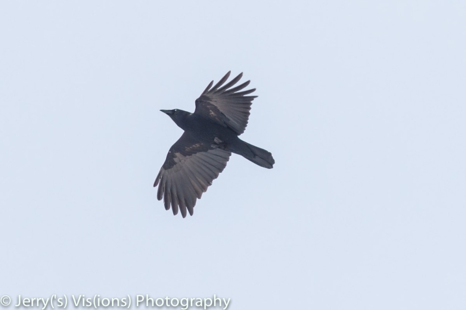 American crow blinking in flight