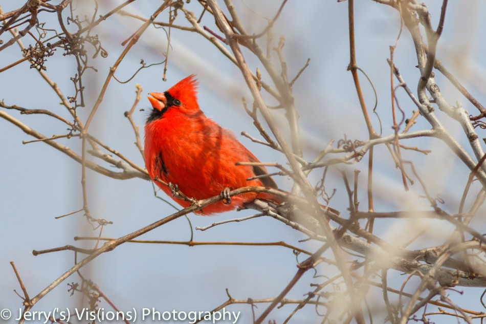 Male northern cardinal eating grapes in the winter