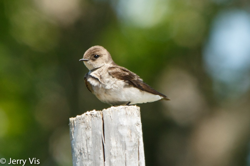 Northern Rough-winged Swallow, Stelgidopteryx serripennis