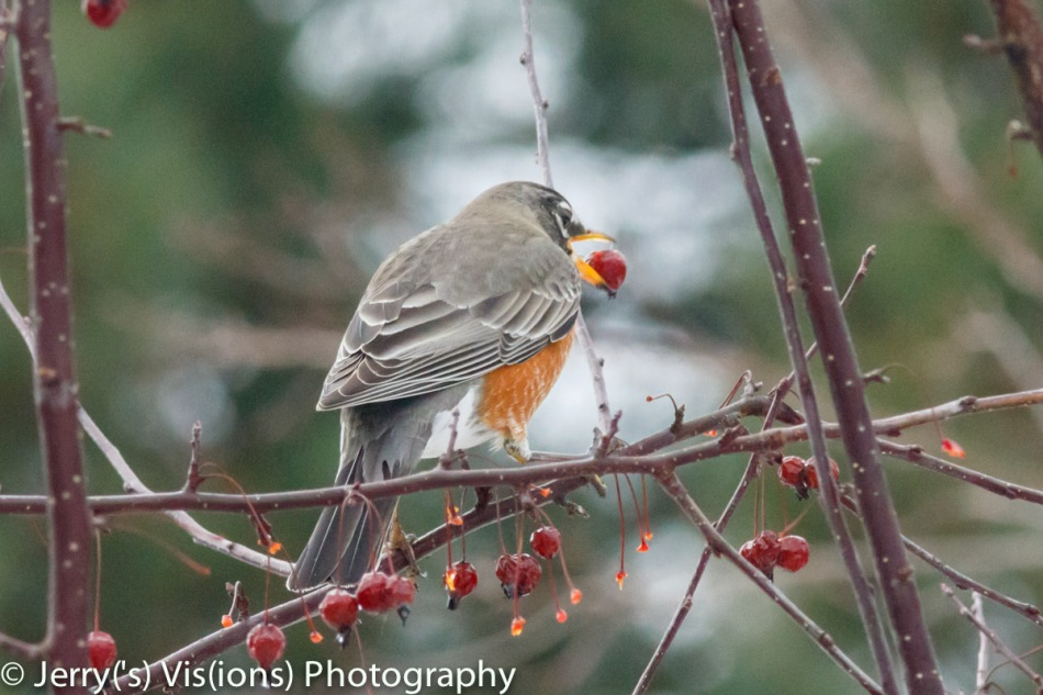American robin taste testing a crabapple