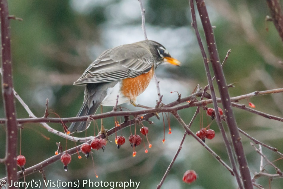 American robin dropping a crabapple