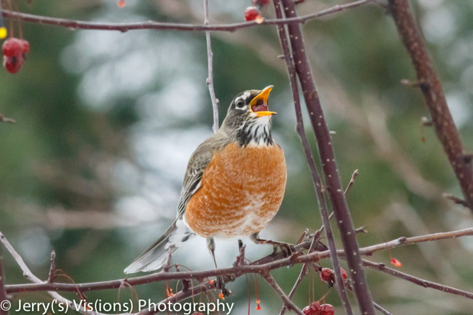 American robin eating a crabapple