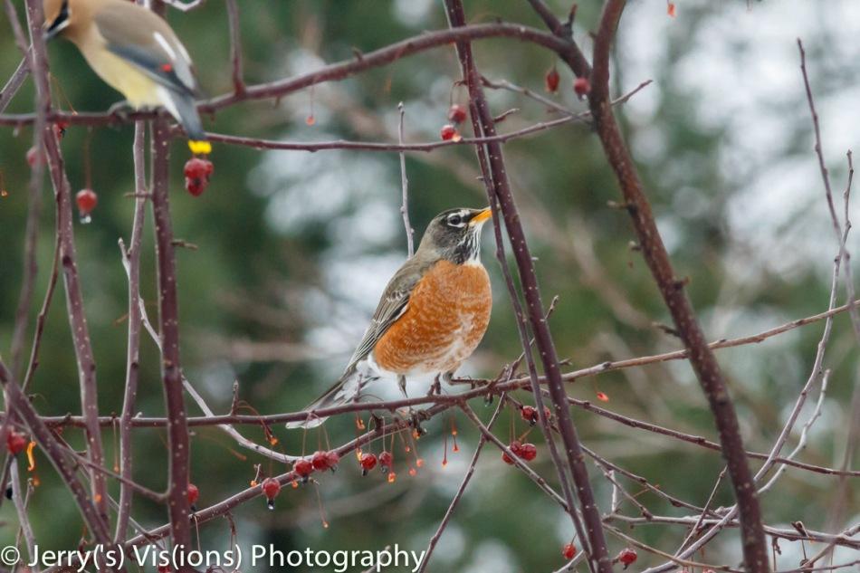 American robin and cedar waxwing