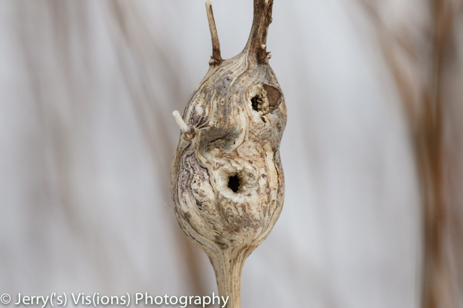 Goldenrod galls that have been opened by a bird