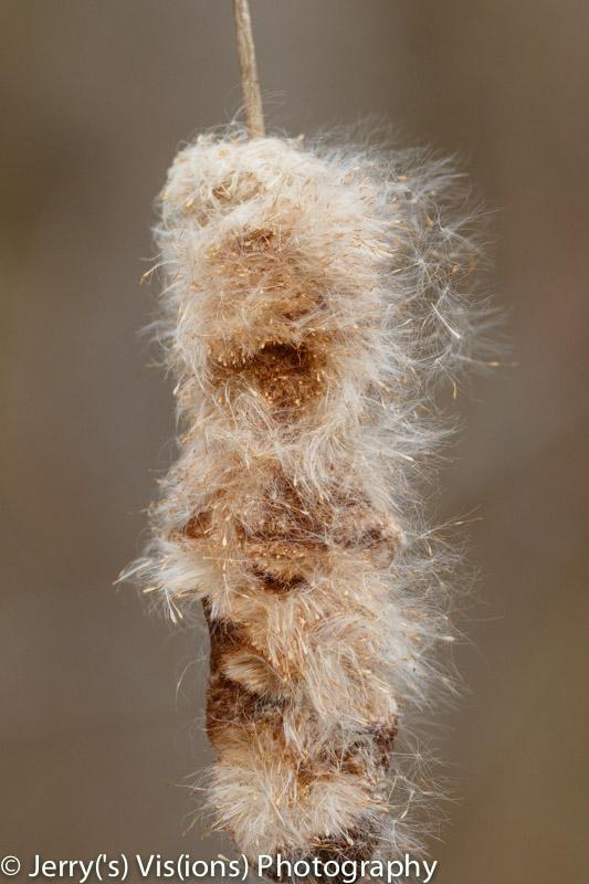 Cattail seeds