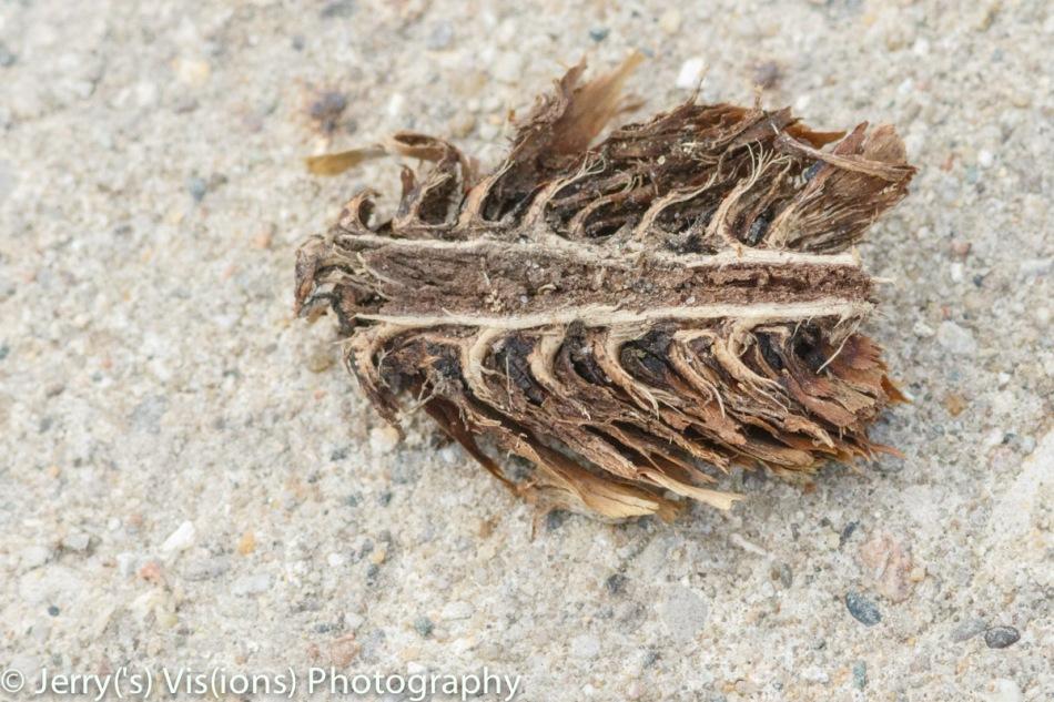 Pine cone cut in half