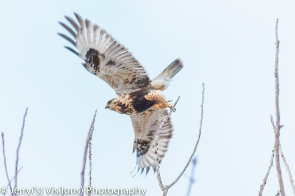Rough-legged hawk taking flight