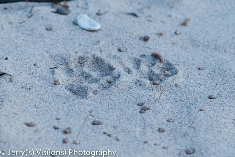 Raccoon tracks and water drops