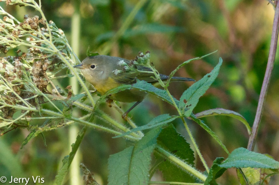 Nashville warbler trying to find its way though the maze