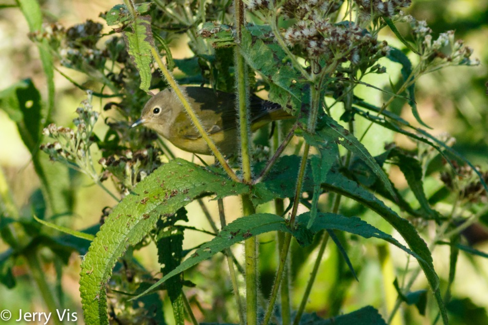 Nashville warbler trying to find its way though the maze 2