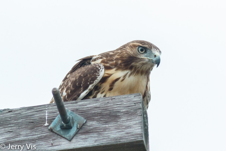 Red-tailed hawk trying to see into the future