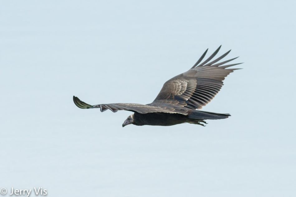 Juvenile turkey vulture escaping