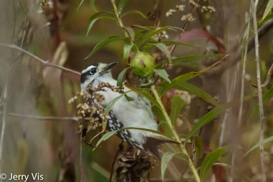Downy woodpecker pecking a goldenrod gall
