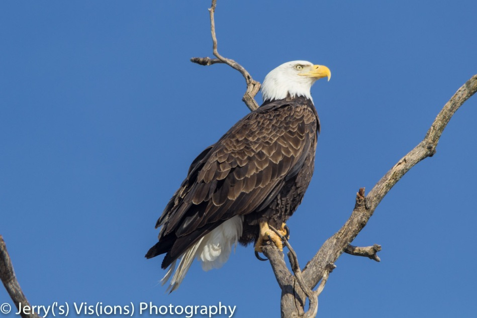 Bald eagle looking regal